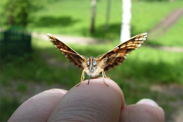 Пьяная бабочка