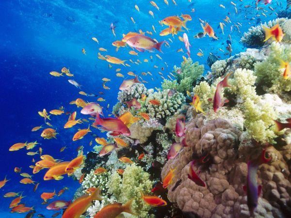 Красное море, кораллы