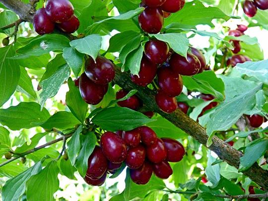 Кизил — Чертова ягода