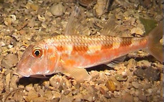 рыбка султанка