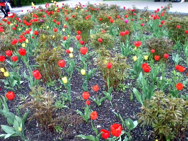 тюльпаны в дендрарии