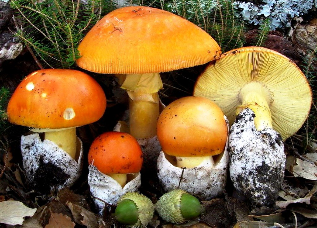 Цезарский гриб на Урале