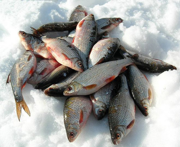 плотва Рыбинское водохранилище